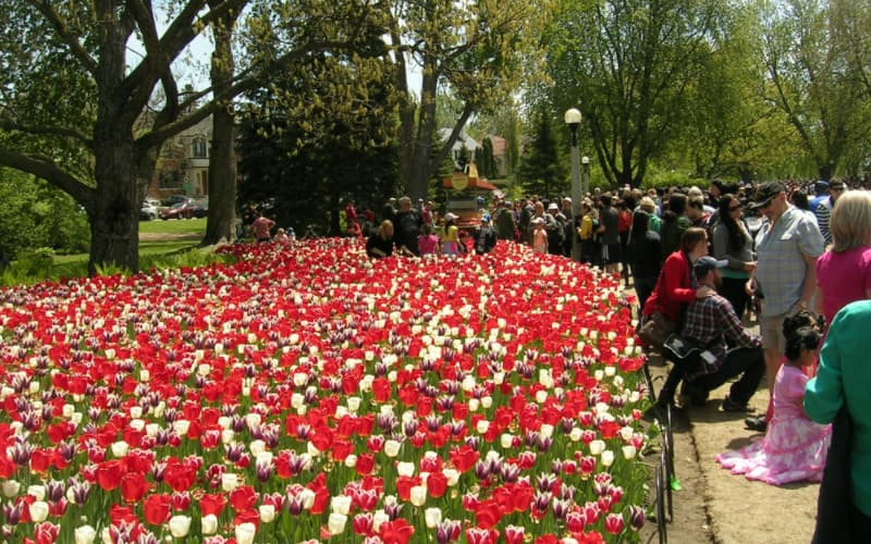 Why Does The Netherlands Send Tulips To Canada - Pic #1