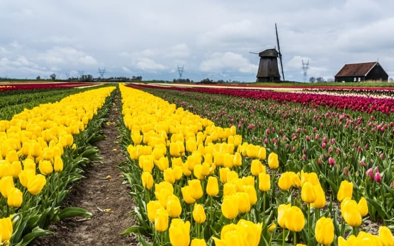 Is Alkmaar Worth Visiting - Flower fields near Alkmaar