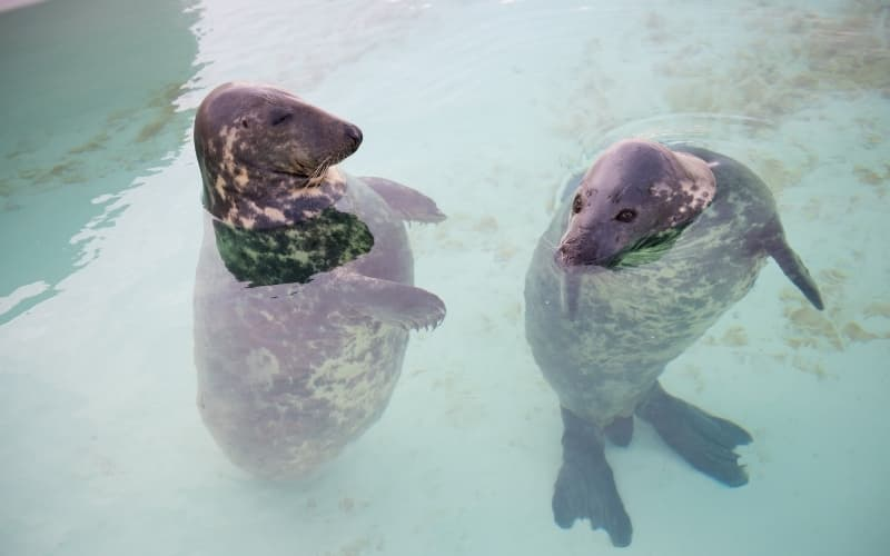 Visiting Texel Island - Two seals are swimming
