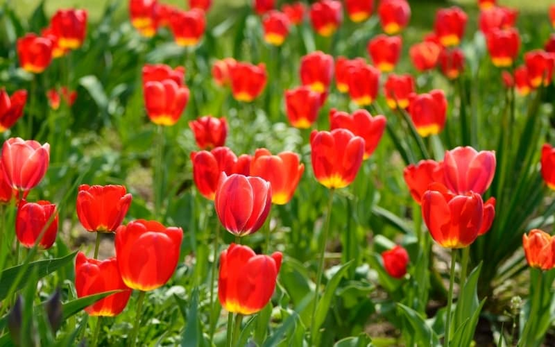What are the Seasons in The Netherlands - Tulips in a field