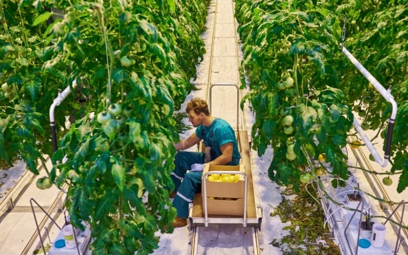 Why Does The Netherlands Export So Much Food - tomatoes in a greenhouse