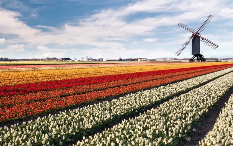Why does the Netherlands grow tulips - Dutch growing tulips