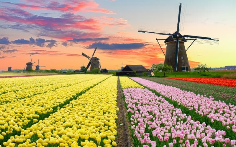 Photo of tulip fields and windmills in the Netherlands